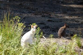 Wallaby blanc à Bruny Island