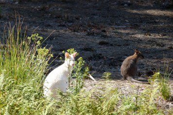 Wallaby blanc à Bruny Island