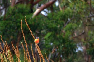 Rouge-gorge (Red Robins) à Maria Island