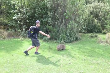 Wombats à Maria Island