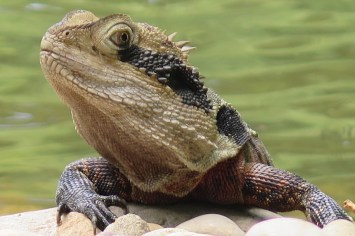 Water Dragon à Mainly Beach