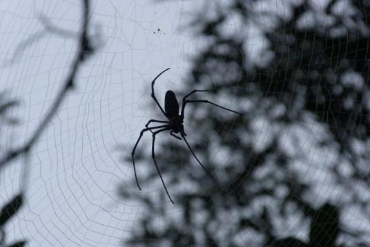 Araignée à Tzarali