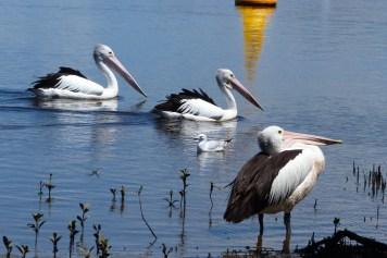 Pélican blanc à Narooma
