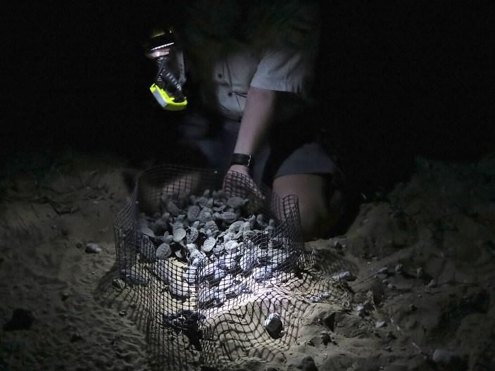 Tous les bébés tortues d'un même sont rassemblés avant de rejoindre la mer
