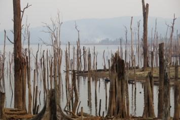 Troncs d'arbres morts
