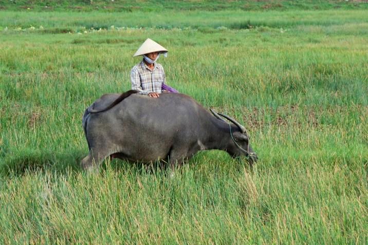 Buffle rizières Hoi An Vietnam blog voyage 2016 20