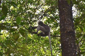 Singe mangrove Cherating Malaisie blog voyage 2016 14