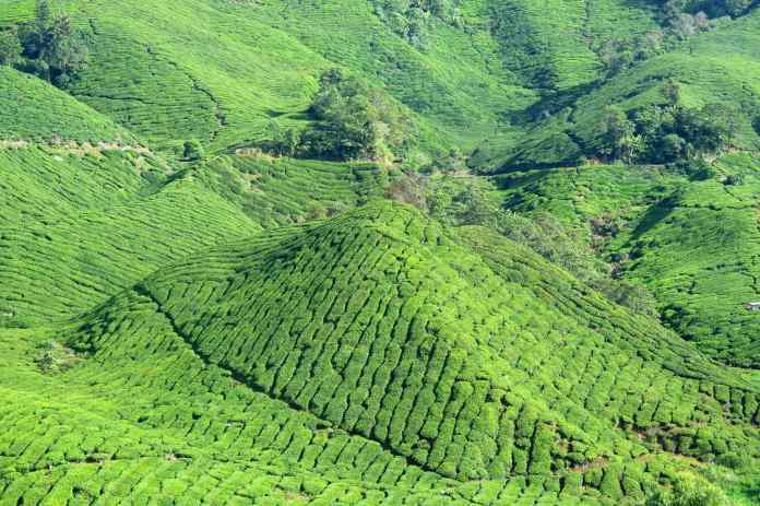 BOH Tea Plantation Tanah Rata Cameron Highlands Malaisie blog voyage 2016 6
