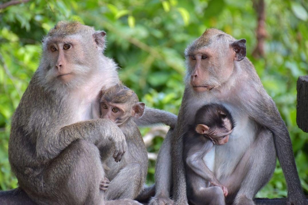 Singes jimbaran-bukit-indonesie-blog-voyage-2016-14