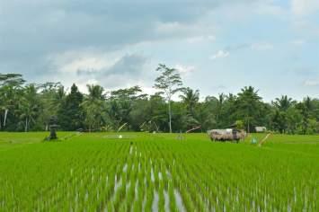 Rizières ubud-indonesie-blog-voyage-2016-17