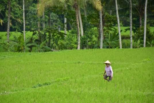 Rizières ubud-indonesie-blog-voyage-2016-19