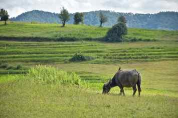 buffle Trek-Kalaw-Inle-Myanmar-blog-voyage-2016 24