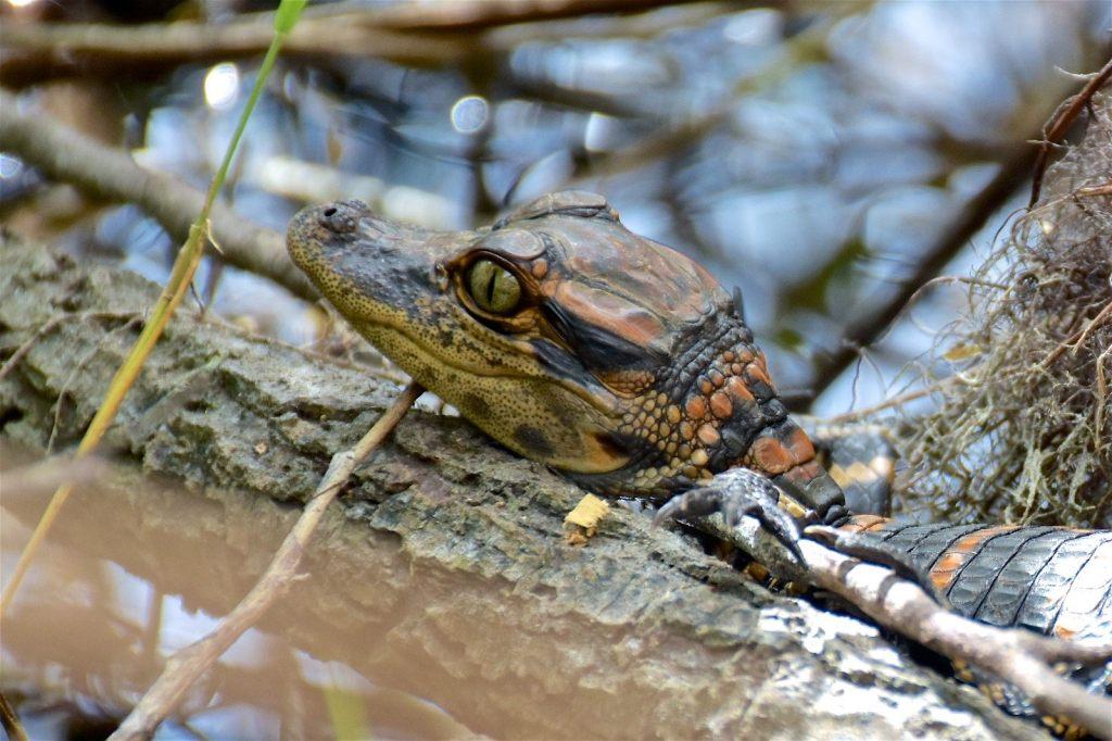 Bebe gator Un an Floride blog voyage 2019 19