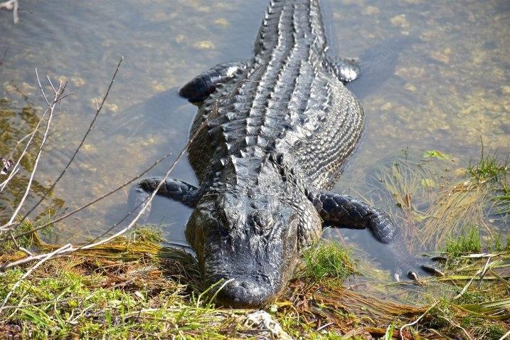 Alligator Un an Floride blog voyage 2019 3