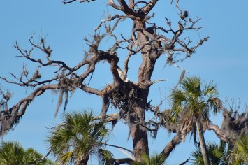 Bald eagle dans son nid (au loin)