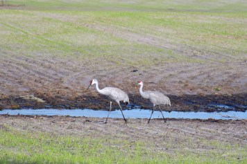Sandhill cranes, ou grues du Canada