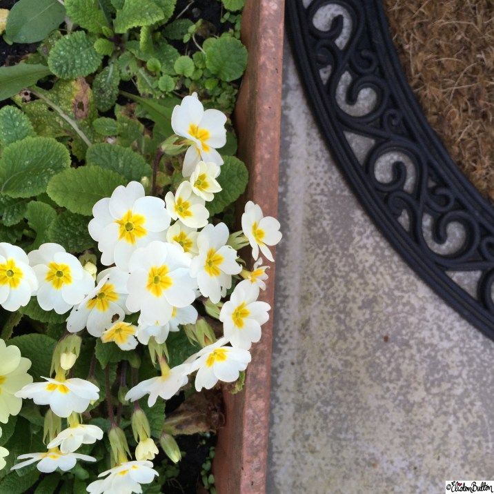 Garden Primroses and Door Mat - Around Here...April 2015 at www.elistonbutton.com - Eliston Button - That Crafty Kid – Art, Design, Craft & Adventure.