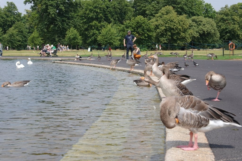 Geese, Round Pond, Kensington Gardens, Hyde Park (10)