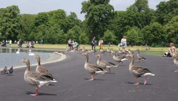 Geese, Round Pond, Kensington Gardens, Hyde Park (11)