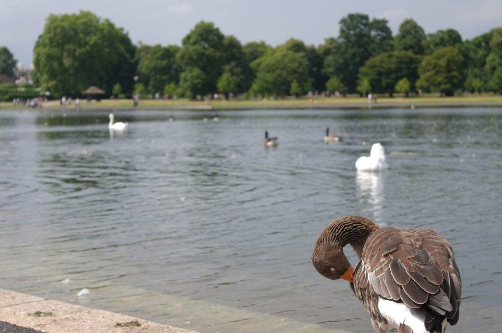 Geese, Round Pond, Kensington Gardens, Hyde Park (13)