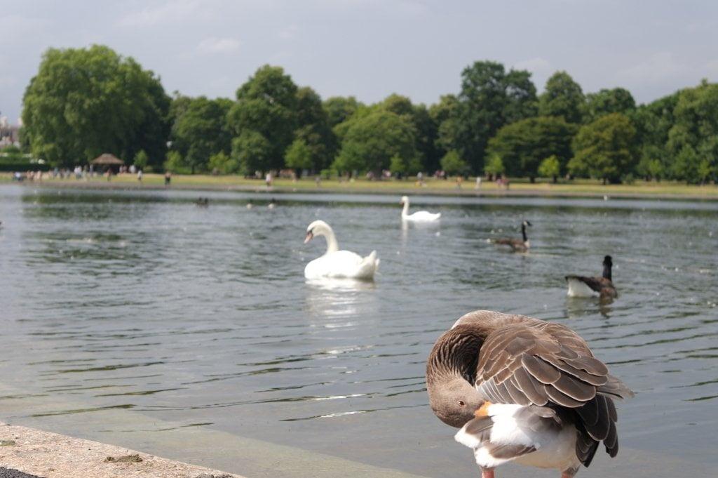 Geese, Round Pond, Kensington Gardens, Hyde Park (14)