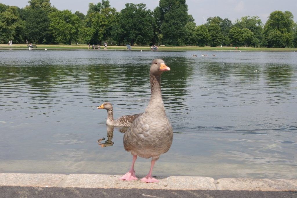 Geese, Round Pond, Kensington Gardens, Hyde Park (20)