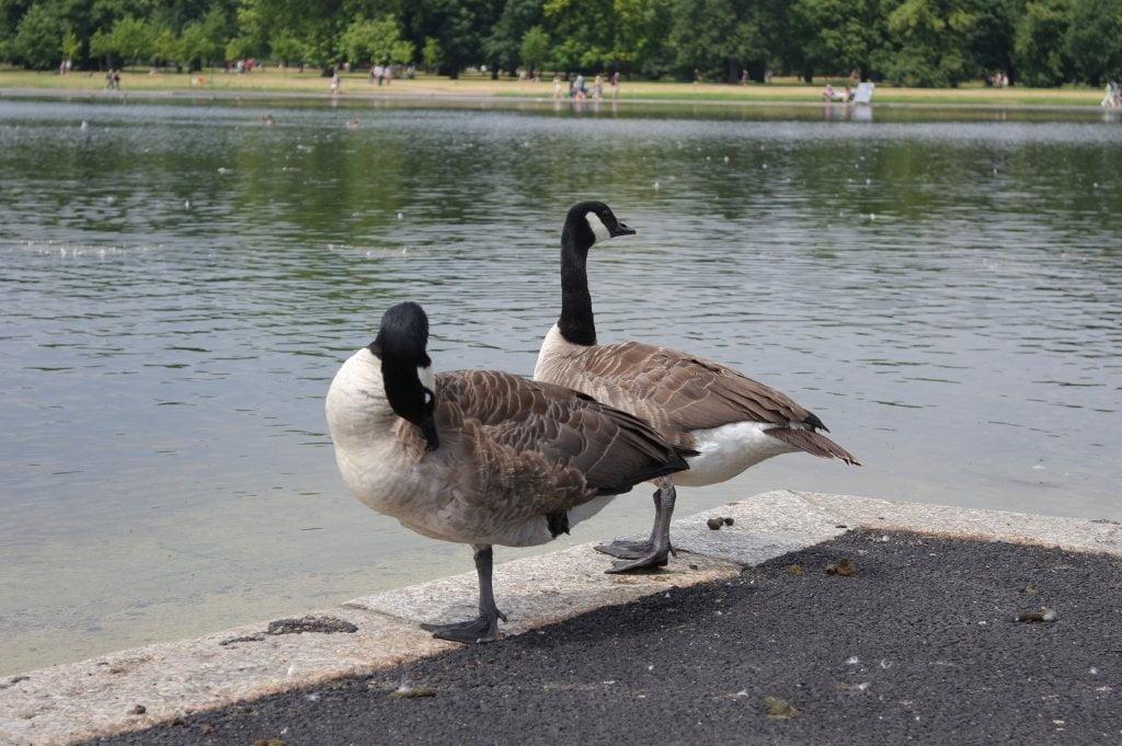 Geese, Round Pond, Kensington Gardens, Hyde Park (4)