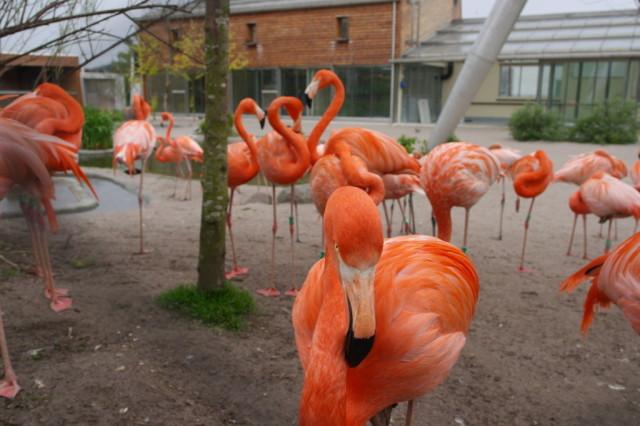 Flamingos, Copenhagen Zoo