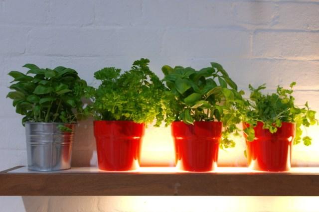 Basil herbs Sortedfood