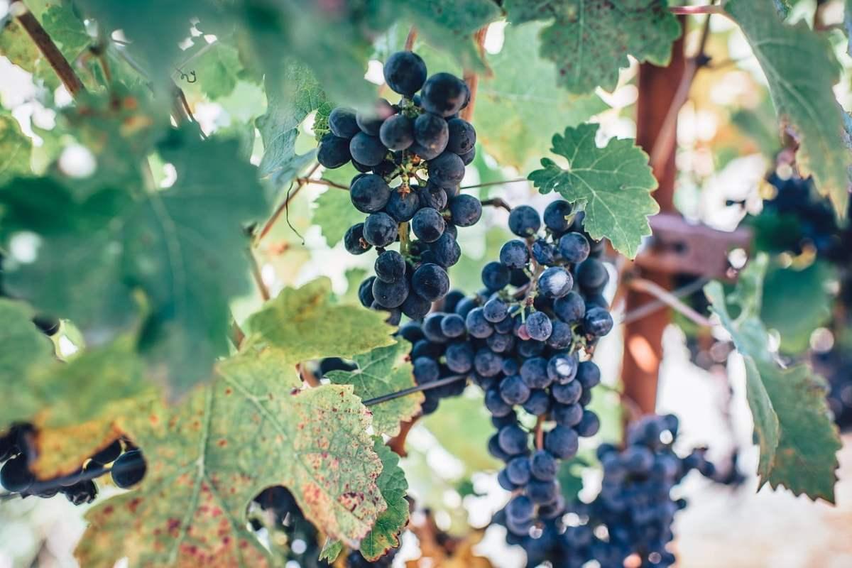 wine farm photo