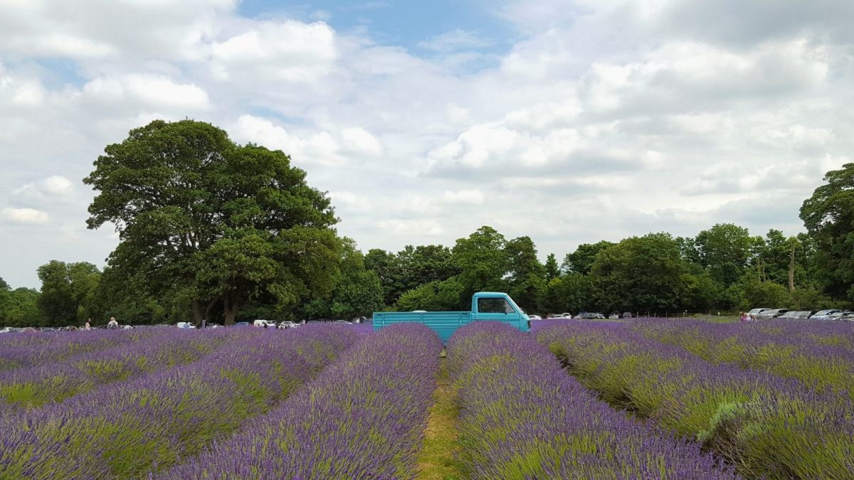 When is the Best Time to Visit Mayfield Lavender Farm in London? 1