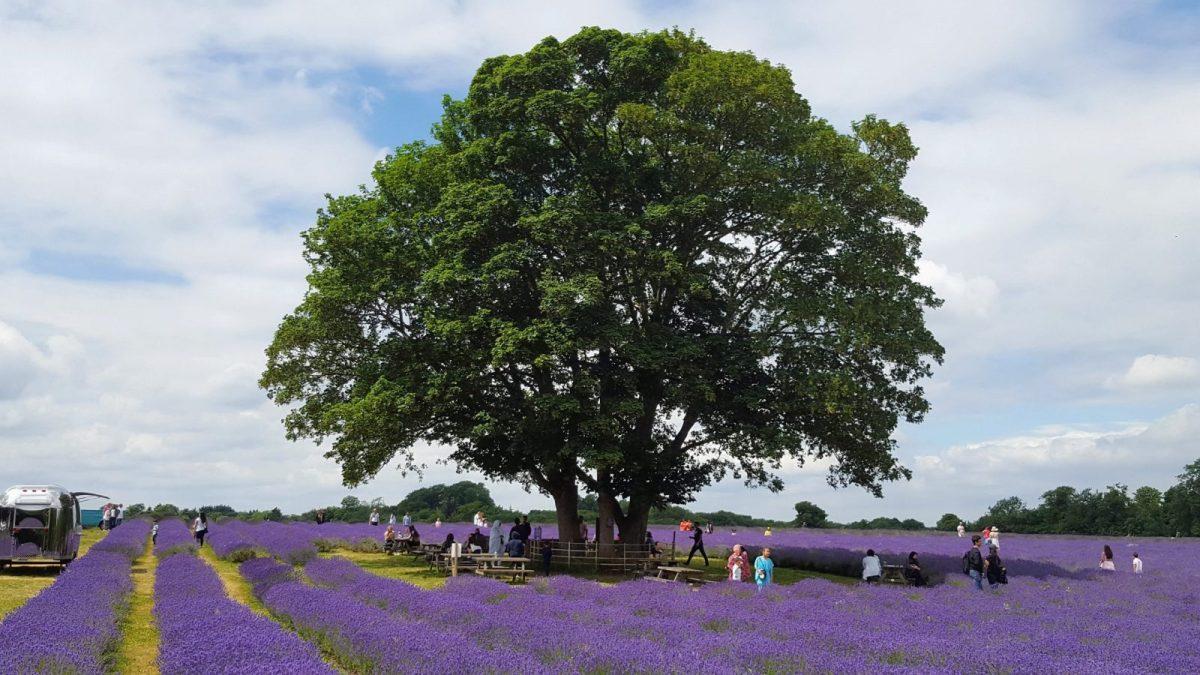 Huge old tree at Mayfield Lavender Farm