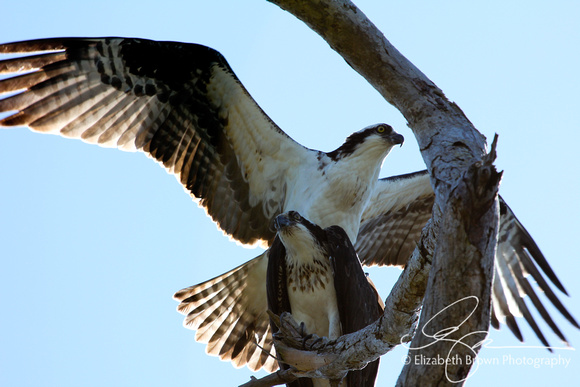 Ospreys, Honeymoon Island State Park, Dunedin, FL