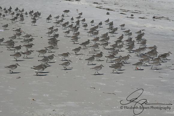Sanderlings at Sand Key Park, Clearwater, FL