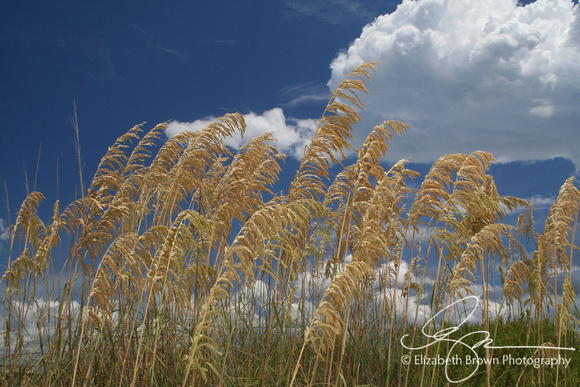Sea Oats at Honeymoon Island State Park, Dunedin, FL