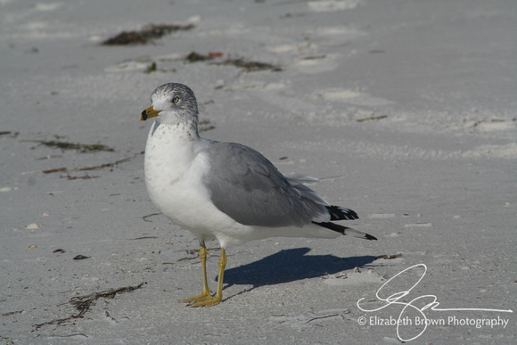 Ring Billed Gull in Winter. Caladesi Island State Park, Dunedin, FL.
