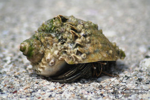 Striped Hermit Crab in a Crown Conch, Caladesi Island State Park, Dunedin, FL