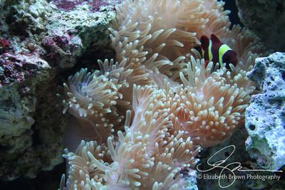 Goldstripe Maroon Clownfish and Anemone