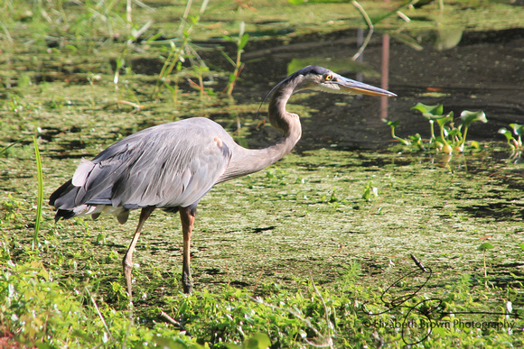 Great Blue Heron, John Chestnut Sr. Park, Palm Harbor, FL