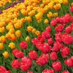 Tulips on an angle
