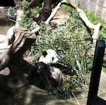reuzenpanda's San Diego Zoo