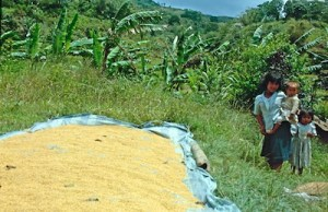 Sumatra Reis Trocknen - Arbeitskopie 2