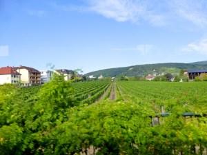 Wein_Pfalz_2015_08_19_Foto_Elke_Backert (1)