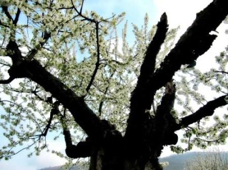 alter Kirschbaum Krone