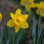 daffodil-signs-of-spring-583x388