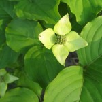 dogwood-blossom-signs-of-spring