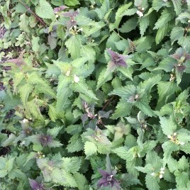 Dead Nettle CO Tincture