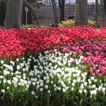 Tulips in Turkey: Gulhane Park