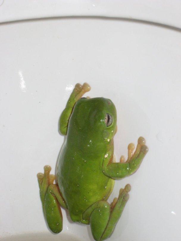 The Ozzie killer toilet frog
