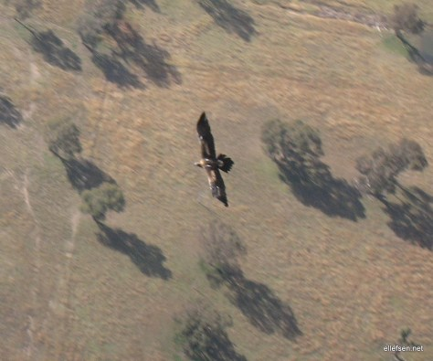 Ozzie wedge-tailed eagle
